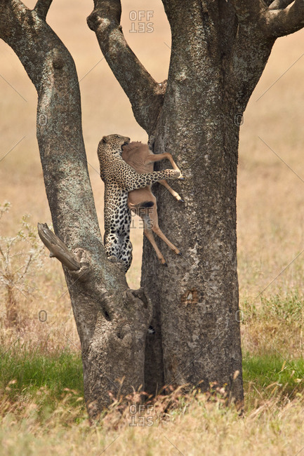 Leopard (Panthera pardus) carrying a days-old Blue Wildebeest or Brindled Gnu (Connochaetes taurinus) calf up a tree, Serengeti National Park, Tanzania