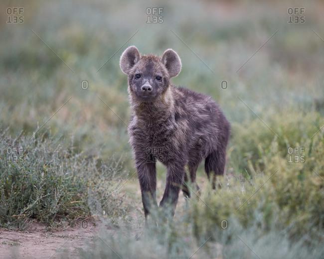 Spotted Hyena (Crocuta crocuta), juvenile, Serengeti National Park, Tanzania