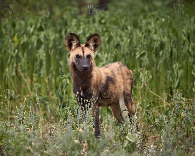 African Wild Dog, African Hunting Dog, or Cape Hunting Dog (Lycaon pictus), Ngorongoro Conservation Area, Serengeti, Tanzania