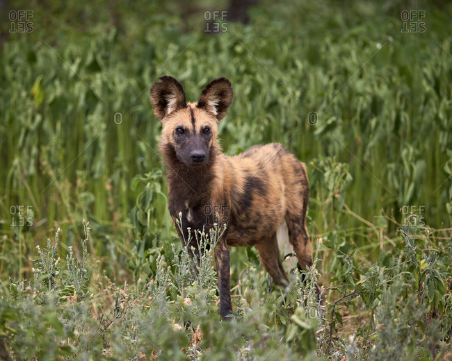 African Wild Dog, African Hunting Dog, or Cape Hunting Dog (Lycaon pictus), Ngorongoro Conservation Area, Serengeti, Tanzania