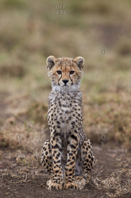 Cheetah (Acinonyx jubatus) cub, Serengeti National Park, Tanzania