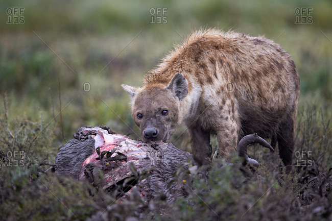 Spotted Hyena (Crocuta crocuta) at a Blue Wildebeest carcass, Ngorongoro Conservation Area, Serengeti, Tanzania