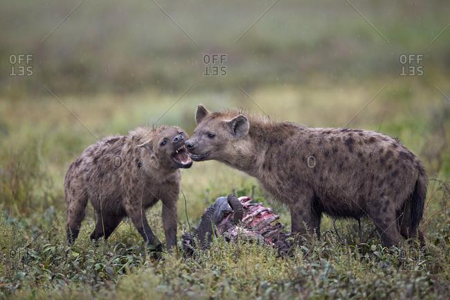 Spotted Hyena (Crocuta crocuta) at a Blue Wildebeest or Brindled Gnu carcass, Ngorongoro Conservation Area, Serengeti, Tanzania
