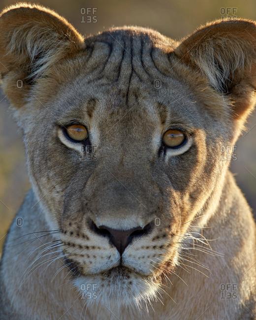 Lioness (Panthera leo), Kgalagadi Transfrontier Park (encompassing the former Kalahari Gemsbok National Park), South Africa