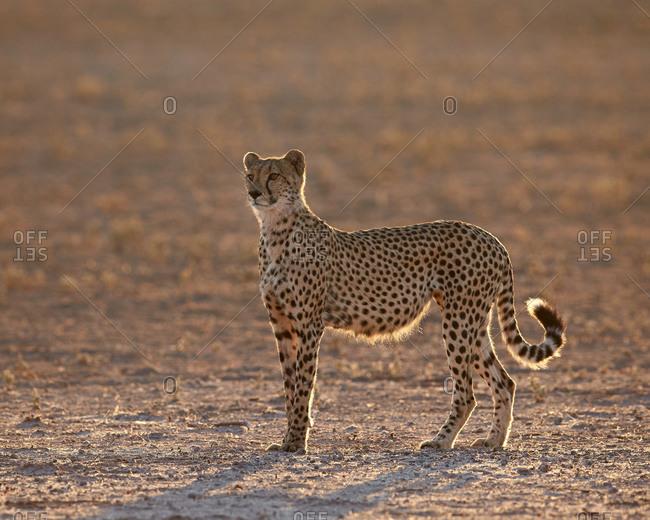 Cheetah (Acinonyx jubatus) backlit on the dry Auob River, Kgalagadi Transfrontier Park (encompassing the former Kalahari Gemsbok National Park), South Africa