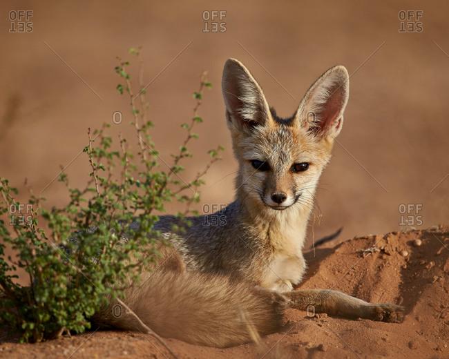 Cape Fox, Cama Fox or Silver-Backed Fox (Vulpes chama), Kgalagadi Transfrontier Park (encompassing the former Kalahari Gemsbok National Park), South Africa
