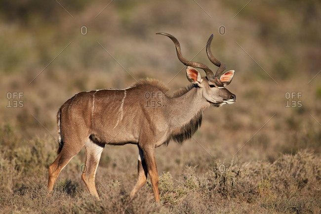 Greater Kudu (Tragelaphus strepsiceros) buck, Karoo National Park, South Africa