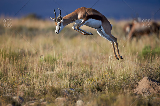Springbok (Antidorcas marsupialis) buck springing or jumping, Mountain Zebra National Park, South Africa