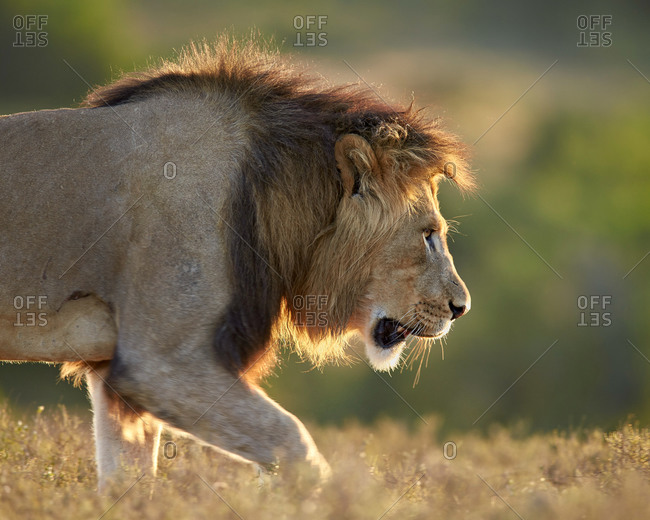Male Lion (Panthera leo), backlit, Addo Elephant National Park, South Africa