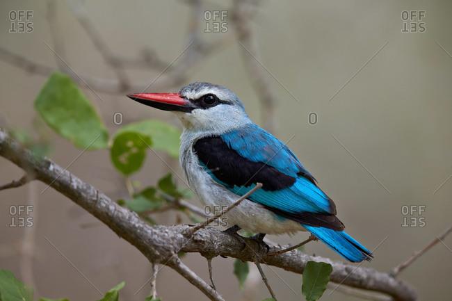 Woodland Kingfisher (Halcyon senegalensis), Kruger National Park, South Africa