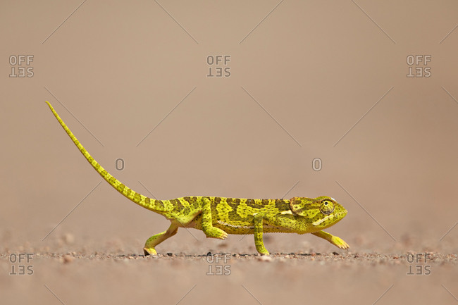 Flap-Necked Chameleon or Flap Neck Chameleon (Chamaeleo dilepis), Kruger National Park, South Africa