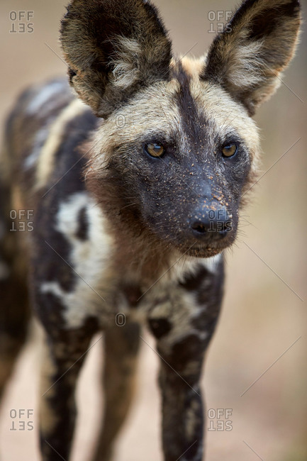 African Wild Dog, African Hunting Dog, or Cape Hunting Dog (Lycaon pictus), Kruger National Park, South Africa