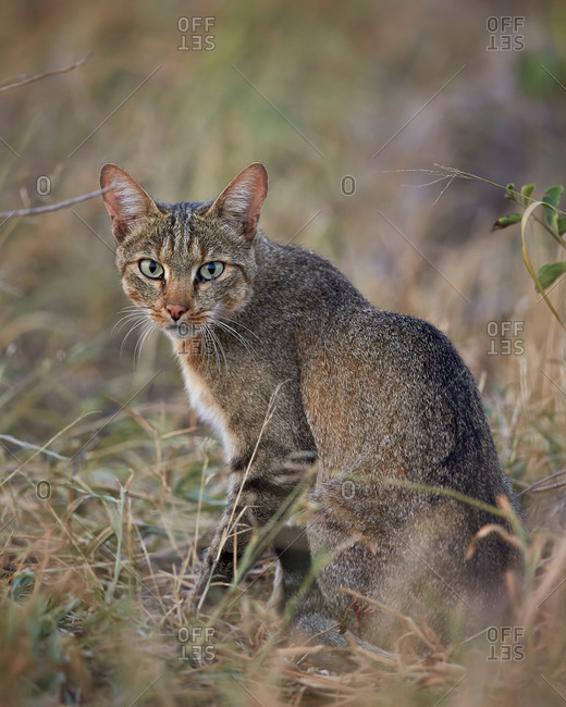 African Wild Cat (Felis silvestris lybica), Kruger National Park, South Africa
