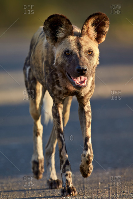 African Wild Dog, African Hunting Dog, or Cape Hunting Dog (Lycaon pictus) running, Kruger National Park, South Africa