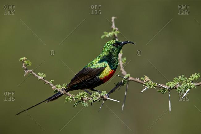 Beautiful Sunbird (Cinnyris pulchella), male, Ngorongoro Conservation Area, Serengeti, Tanzania