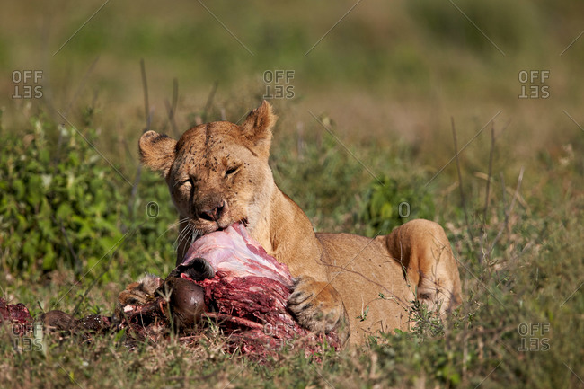 Lioness (Lion, Panthera leo) eating a wildebeest carcass, Ngorongoro Conservation Area, Serengeti, Tanzania