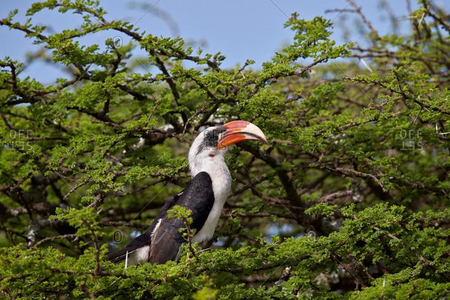 Von Der Decken's Hornbill (Tockus deckeni), male, Ngorongoro Conservation Area, Serengeti, Tanzania