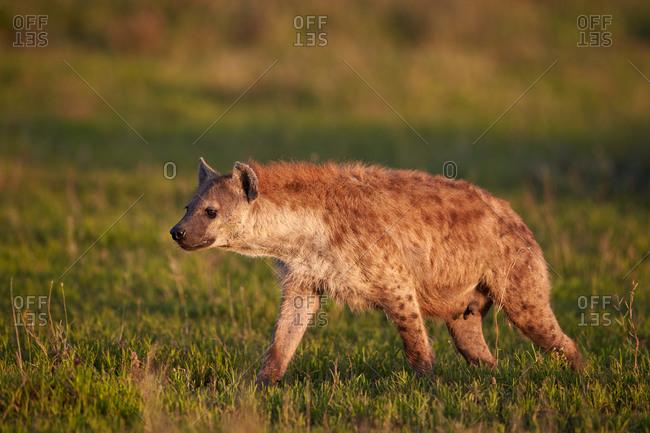 Spotted Hyena or Spotted Hyaena (Crocuta crocuta), Ngorongoro Conservation Area, Serengeti, Tanzania