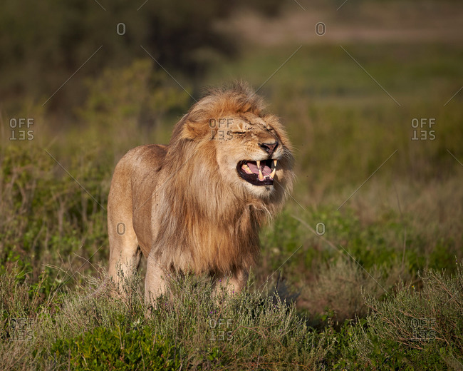 Lion (Panthera leo) demonstrating the flehmen response, Ngorongoro Conservation Area, Serengeti, Tanzania