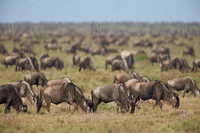 Blue Wildebeest or Brindled Gnu (Connochaetes taurinus) herd, Ngorongoro Conservation Area, Serengeti, Tanzania