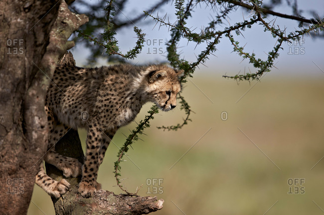 Cheetah (Acinonyx jubatus) cub in an acacia tree, Ngorongoro Conservation Area, Serengeti, Tanzania