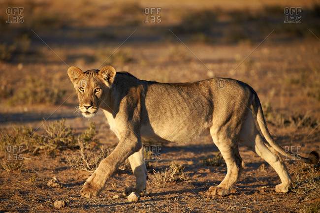 Lion (Panthera leo), immature, Kgalagadi Transfrontier Park (encompassing the former Kalahari Gemsbok National Park), South Africa