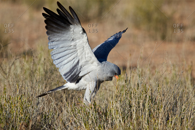 Southern Pale Chanting Goshawk (Melierax canorus) hunting, Kgalagadi Transfrontier Park (encompassing the former Kalahari Gemsbok National Park), South Africa