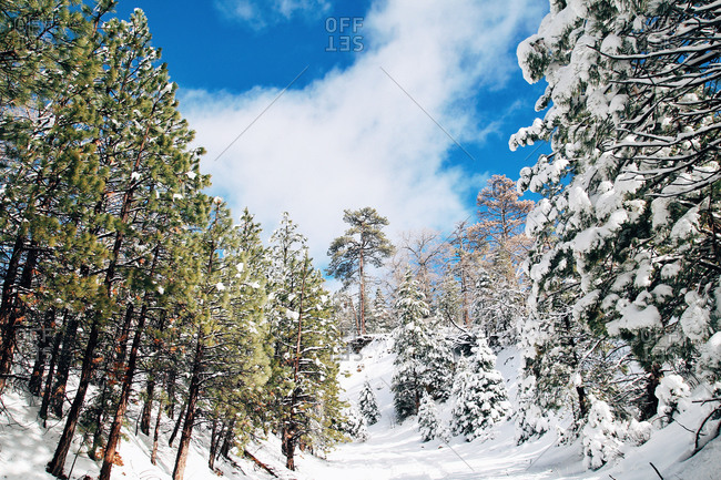 Blue sky and snow covered trees