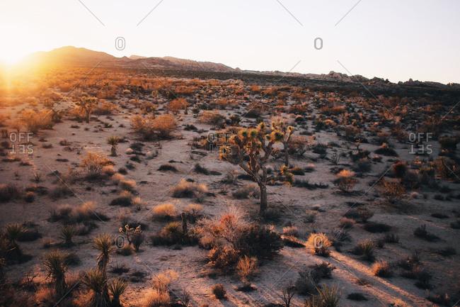 Desert vegetation at sunset