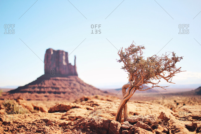 Lone twisted desert plant and a mesa