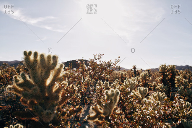 Yucca trees and flowering bushes in a desert
