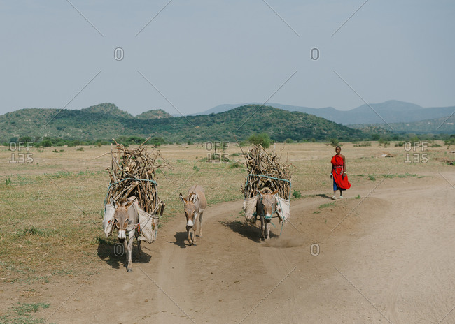 Tanzania - circa June 2012: Donkeys carry wood through the plains