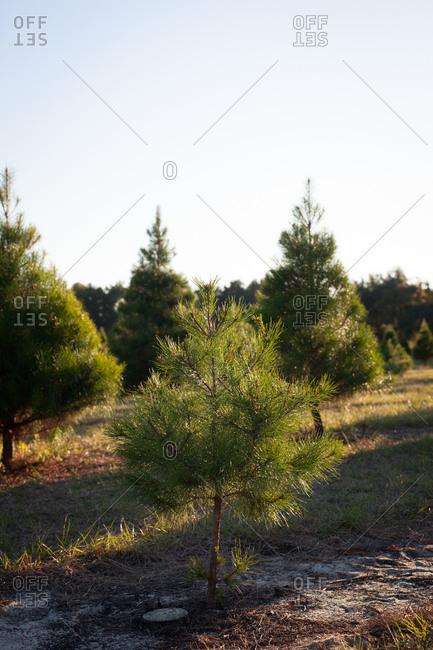 Small Christmas tree on farm