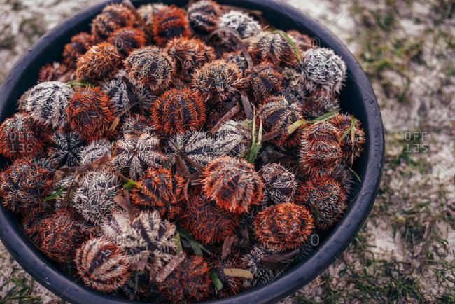 Sea urchins in a bucket