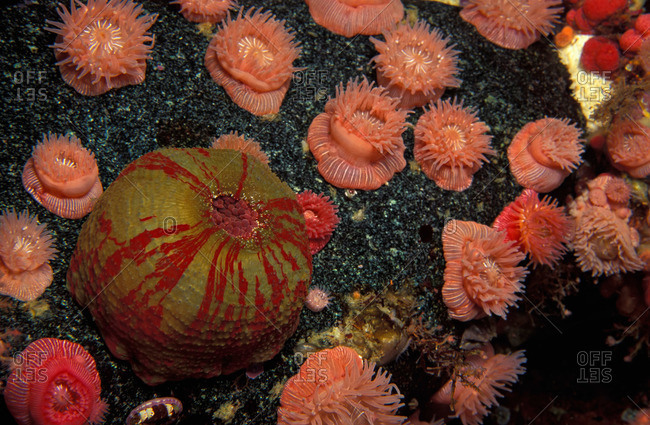 A collage of sea anemones on a current swept reef in the Pacific Ocean