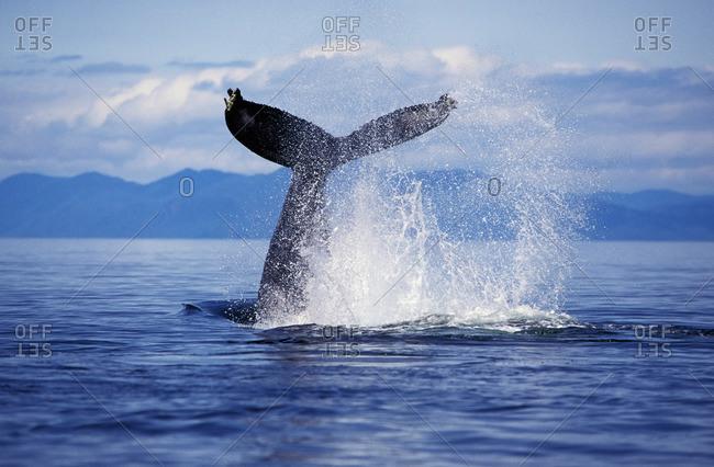 A humpback whale exhibiting lob-tailing behavior, Alaska, USA