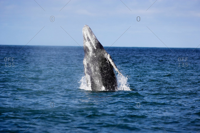 A gray whale breaching, a behavior in which whale propels its 20 ton, 40-foot-long body out of the water, Baja, Mexico