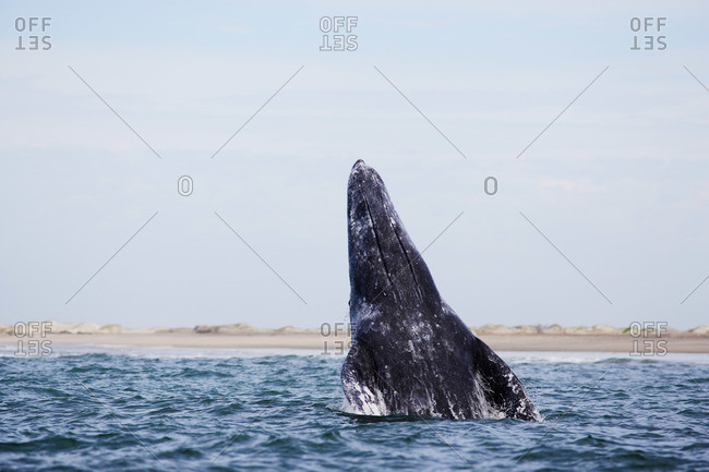 A gray whale breaching in a lagoon along Pacific coast of Baja, Mexico