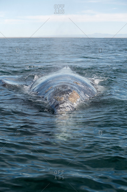 The barnacle covered head of a gray whale in Baja, Mexico