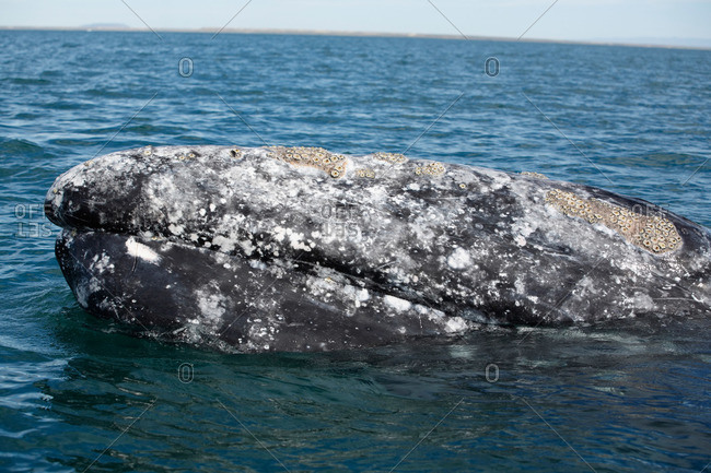 A gray whale lifting its head above water, Baja, Mexico