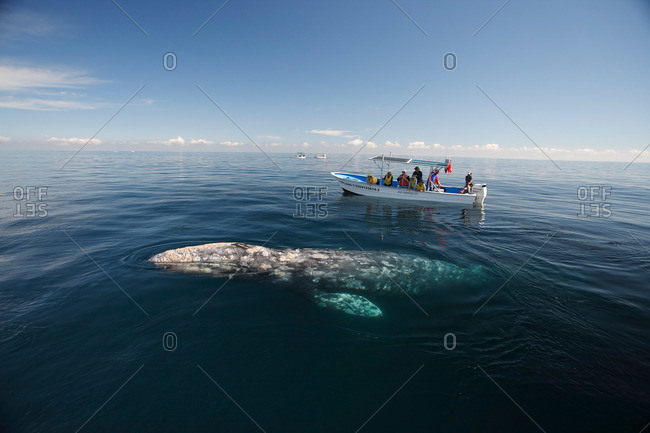 Baja, Mexico - February 10, 2007: A gray whale surfaces to breathe alongside whale-watching boat with tourists, Baja, Mexico