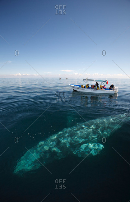 Baja, Mexico - February 10, 2007: A gray whale surfaces alongside whale-watching boat with tourists, Baja, Mexico