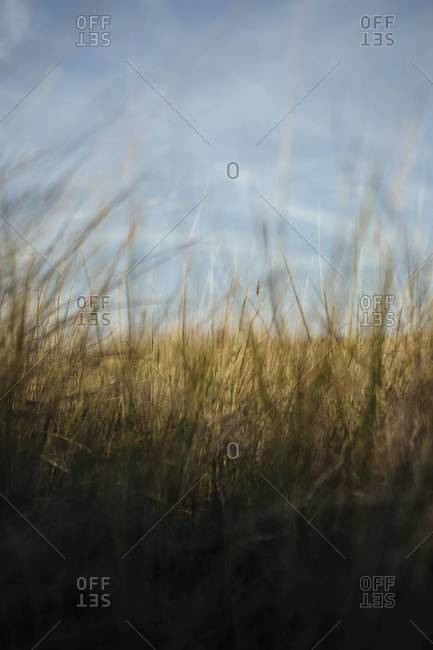 Close up of field of windswept beach grasses, Long Beach Peninsula, WA, USA