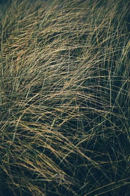 Field of windblown beach grasses, Long Beach Peninsula, WA, USA