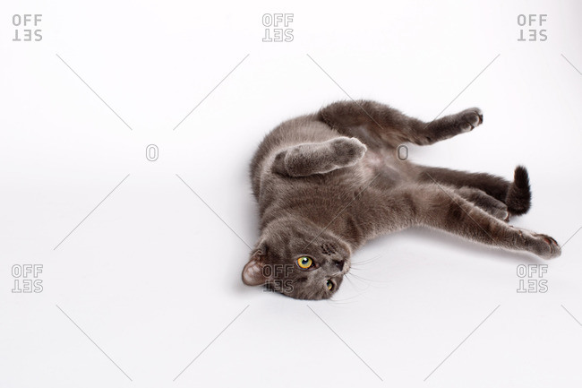 Cat rolling around on white background