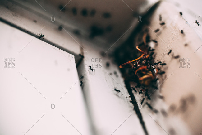 Black ants surrounding a dead insect