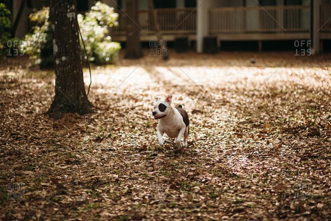 Dog running through fall leaves