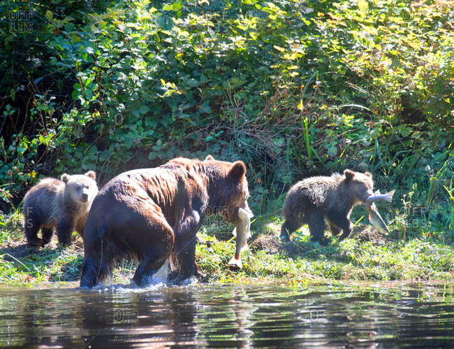 Grizzly bear mom catching salmon with cubs
