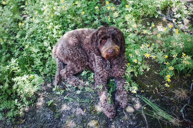 Portuguese water dog laying on the ground