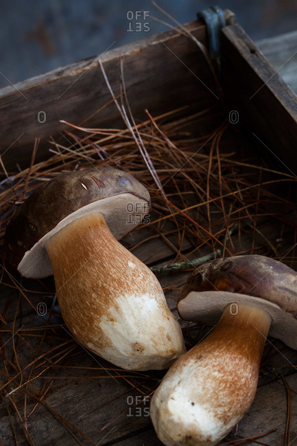 Close-up of two wild porcini mushrooms in wooden box with pine needles